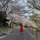 Cherry Blossom Park, Odaiba